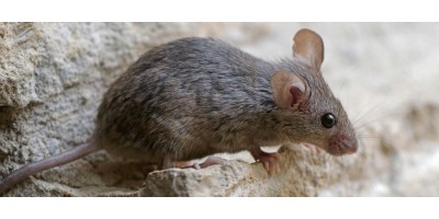 5 προειδοποιητικά σημάδια για να καταλάβετε πως έχετε ποντίκια μέσα στο σπίτι.
